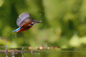 Common Kingfisher (Alcedo atthis) flying away after diving for fish in the forest in the Netherlands