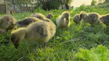 Little Goslings Eating Grass On Traditional Free Range Poultry Farm