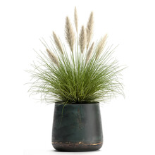 Pennisetum Alopecuroides In A Pot Isolated On White Background