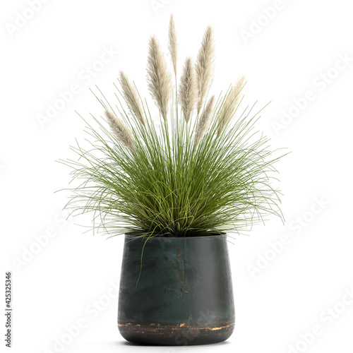 Pennisetum alopecuroides in a pot isolated on white background - fototapety na wymiar
