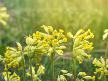 Cowslip Flowers In Spring Forest.