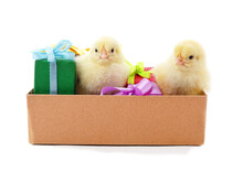 Little Yellow Chickens In A Box With Gifts.