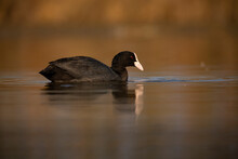 Black Coot Swimming On A Lake In Autumn.