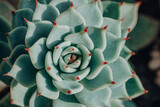 Green plant with red tips closeup. Home gardening indoor succulent plants garden.