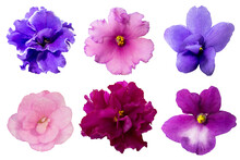 Set Of Isolated African Violet Flowers, Colorful Different Floral Design Elements