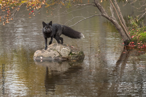 Fototapeta premium Silver Fox (Vulpes vulpes) Turns and Looks Out From Island Rock Autumn