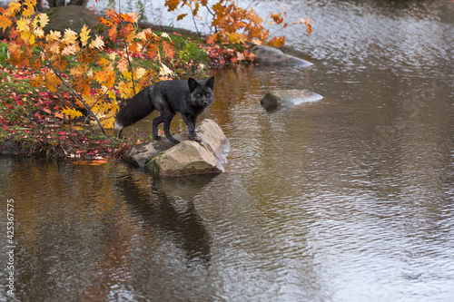 Fototapeta premium Silver Fox (Vulpes vulpes) Steps Out on Rock Reflected Autumn