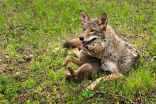 Coyote Pup (Canis Latrans) Squirms And Touches Adult With Tongue Summer