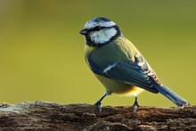 The Eurasian Blue Tit (Cyanistes Caeruleus) On The Branch In Morning Sun Up To Close.