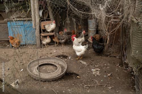 chickens walk in the hen house. chicken farm Wallpaper Mural