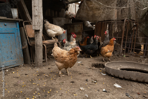 Photo chickens walk in the hen house. chicken farm