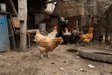 Chickens Walk In The Hen House. Chicken Farm