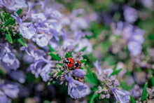 Two Lady Bird Beetles Mating On Rosemary Flowering Branches