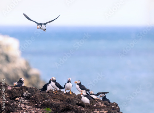 Puffin flying towards colony Fotobehang