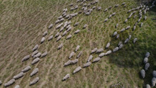 Top Down Shot Of Herd Of Sheep On Green Meadow Farm During Daytime.