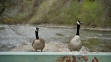 Two Canada Goose On Top Of A Concrete Bridge Pylon