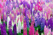 ルピナスの花壇