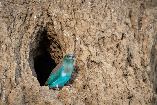 Slika na platnu The European Roller bird chick prepares to fly out of the hole-nest