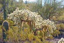 Chain Fruit Cholla (Opuntia Fulgida) In Organ Pipe Cactus National Monument In Arizona USA