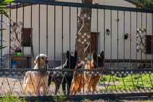 Three Large Dogs Peering Through The Iron Bars Of A Door.