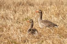 Gęgawy Szukające Miejsca Do Gniazdowania. Dwie Dzikie Gęsi Na Polu Wczesną Wiosną