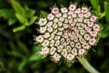 Beautiful Daucus Carota Flower In Spring