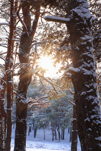 Picturesque view of beautiful snowy forest in winter morning