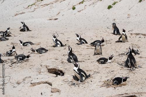 Canvastavla Penguins colony nesting site. Male birds guarding eggs