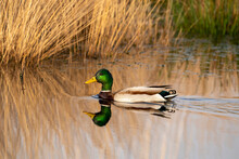 Green Duck Swims In A Lake With Reeds On The Shore. Male Duck Has A Green Head, White Neck Band And Dark Brown Breast. Golden Colors