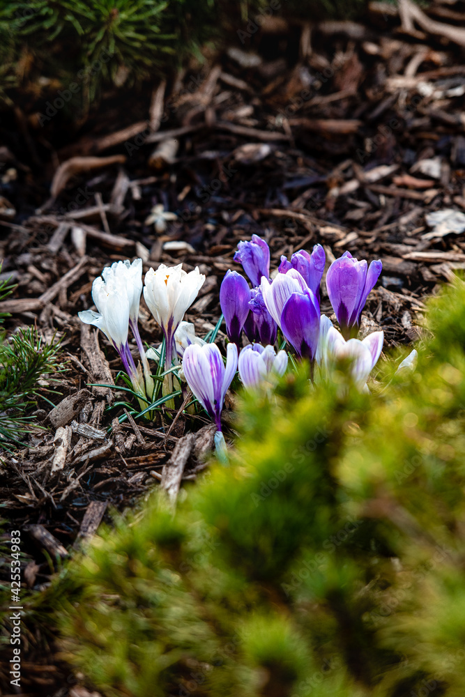 Fototapeta krokusy, wiosna, ogród, garden, wiosna w ogrodzie,  piękny ogród,