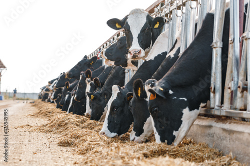 Obraz Cows standing in a stall and eating hay - fototapety do salonu