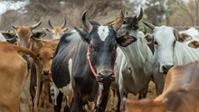 Black Horned Cow Of Native Species With Other Cattle In The Background In The Cattlepen At Farm. Cows Farm For Food Native Cattle Farms Of Rural Thai People. Selective Focus.