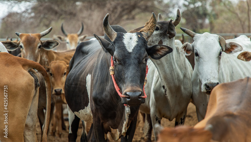 Fotografia Black horned cow of native species with other cattle in the background in the cattlepen at farm
