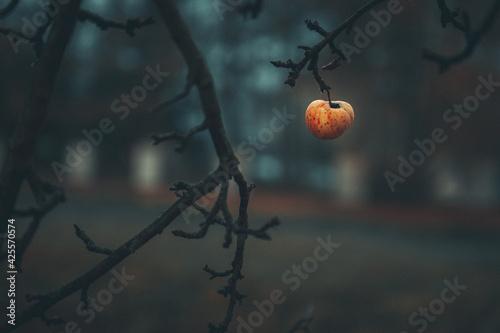 Fototapeta Jabłko wiszące na gałęzi.  obraz