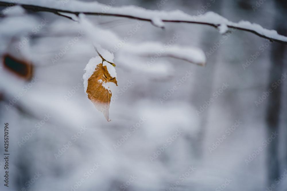 Fototapeta Brązowy liść obsypany śniegiem.