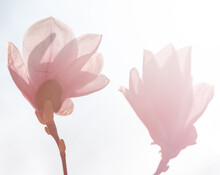 Delicate Pink Magnolia Flowers Against The Light
