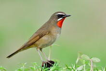 Fresh And Vivid Red Throat Bird Proudly Perching On Top Of Pole Among Green Plants In Mewdow Field, Siberian Rubythroat
