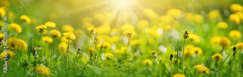 Fototapeta Beautiful yellow dandelions on the spring field. obraz
