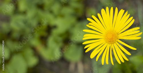 Żółty kwiat Malephora - fototapety na wymiar