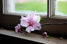 A Pink Almond Blossom On An Old Windowsill