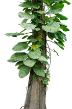 Variegated Leaves Golden Giant Pothos (Marble Queen) Or Devils Ivy Tropical Foliage Vine Plant And Forest Vine Liana Plants Climbing On Jungle Tree Trunk Isolated On White With Clipping Path.