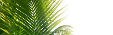 Palm Tropical Plants Leaf. Nature Green Long Horizontal Background.