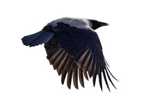 Isolated On White Large Crow With Black Wings