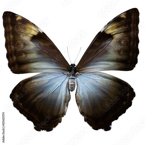 Canvas Butterfly brown-chocolate color, isolate on white background