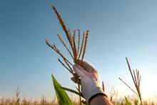Agronomist Inspecting Corn Tassel