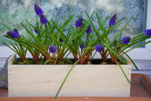 Grape Hyacinths Muscari In Wooden Plant Pot In Front Of Window