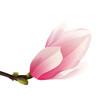 Rozkwitająca magnolia - pąk. Ręcznie rysowany kwiat w kolorze bladego różu z gałązką na białym tle.