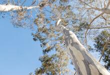 Closeup Of Tall Australian Eucalyptus Trees With Shedding Bark Against Blue Sky