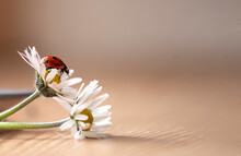 Closeup Banner Of A Ladybird On A White Daisy Flower On Brown Background. Red Ladybug With Black Spots With Mock Up Copy Space