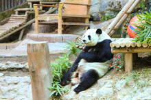 Pandas In Chiang Mai Representing The Relationship Between Thailand And China